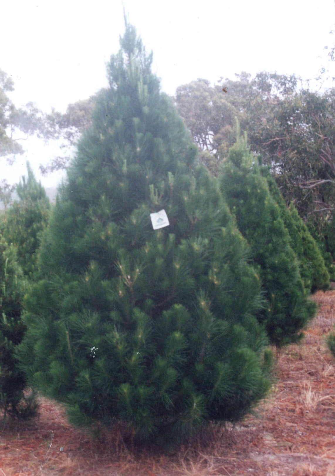 Trees at Woodpatch Christmas tree farm in Somersby, ready for delivery to waiting clients